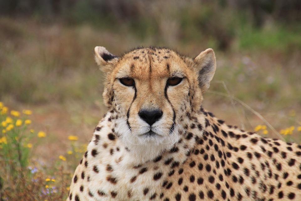gepard-sex-afrika-gangbang-wild