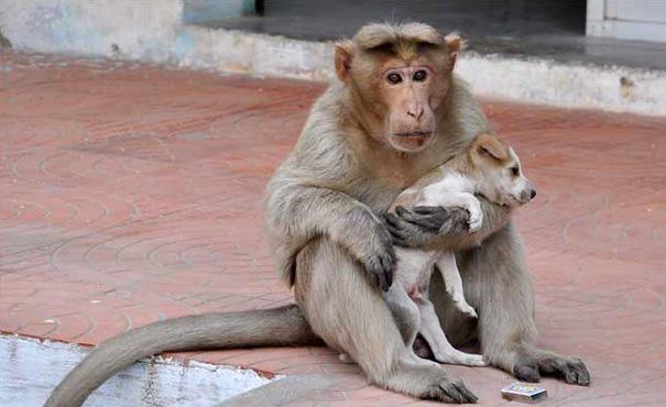 monkey-adopts-puppy-erode-india-sex-01