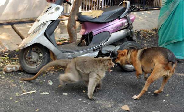 monkey-adopts-puppy-erode-india-sex-02