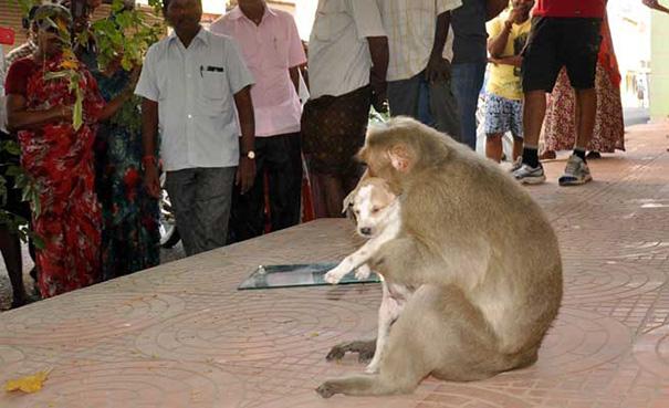 monkey-adopts-puppy-erode-india-sex-03