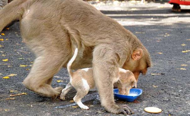 monkey-adopts-puppy-erode-india-sex-04