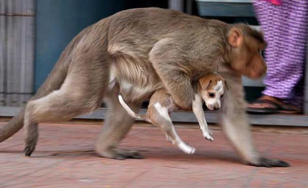 monkey-adopts-puppy-erode-india-sex-05