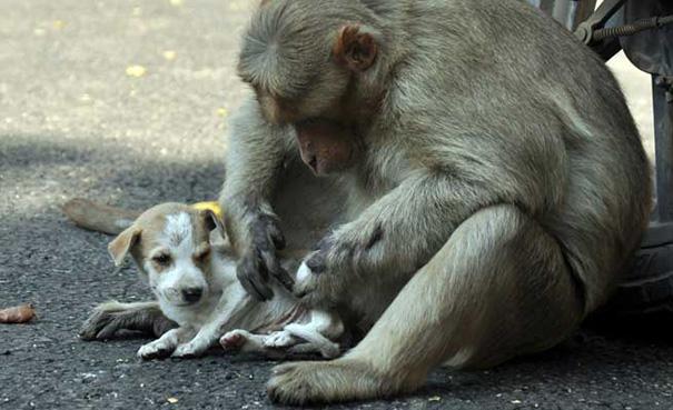 monkey-adopts-puppy-erode-india-sex-06