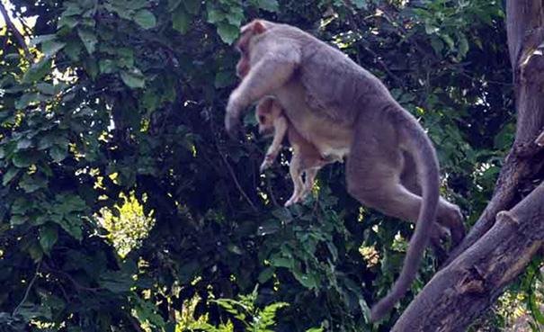 monkey-adopts-puppy-erode-india-sex-07