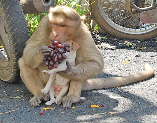 monkey-adopts-puppy-erode-india-sex-08